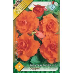 Begonia 'Copper' - Telt, nagyvirágú begónia (narancssárga)