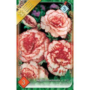 Begonia 'Marmorata' - Teltvirágú, gumós begónia (rózsaszín márványos)