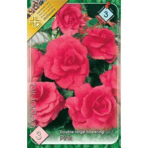 Begonia - Telt, nagyvirágú begónia (rózsaszín)