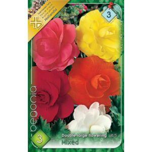 Begonia - Telt, nagyvirágú begónia (színkeverék)