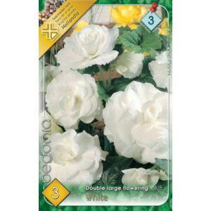 Begonia - Teltvirágú, gumós begónia (fehér)