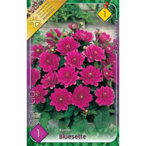Border dália 'Bluesette' (lilás-rózsaszín)