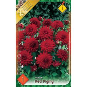 Border dália 'Red Pigmy' (piros)