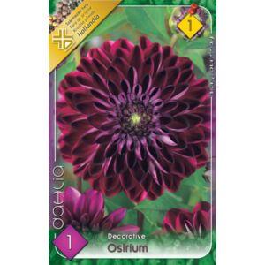 Dekoratív dália 'Osirium' (bordó/sötét rózsaszín)