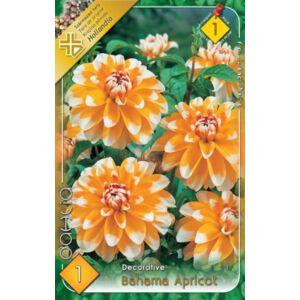 Japán dália 'Bahama Apricot' (barackszín/fehér)