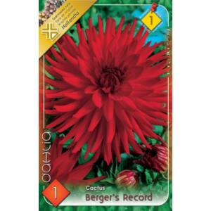 Kaktusz dália 'Berger's Record' (piros)