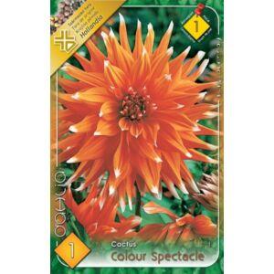 Kaktusz dália 'Colour Spectacle' (narancssárga/fehér)