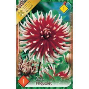Kaktusz dália 'Friquolet' (sötétpiros/fehér)