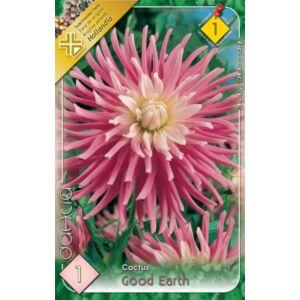 Kaktusz dália 'Good Earth' (rózsaszín/fehér)