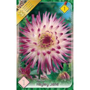 Kaktusz dália 'Haylay Jane' (fehér/lilás-rózsaszín)