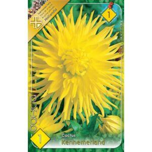 Kaktusz dália 'Kennemerland' (citromsárga)