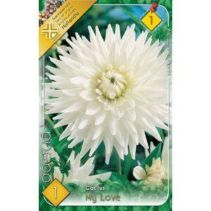 Kaktusz dália 'My Love' (hófehér)