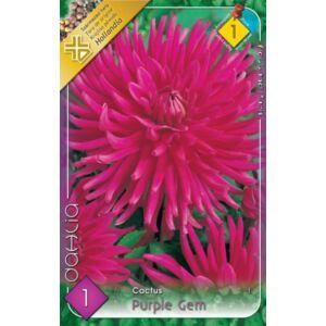 Kaktusz dália 'Purple Gem' (ciklámen)