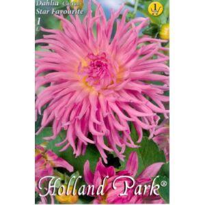 Kaktusz dália 'Star Favourite' (világos rózsaszín)