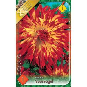 Kaktusz dália 'Vuurvogel' (narancssárga/piros)