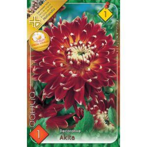 Óriás dekoratív dália 'Akita' (piros/fehér)