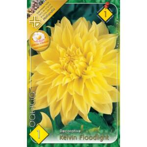 Óriás dekoratív dália 'Kelvin Floodlight' (sárga)