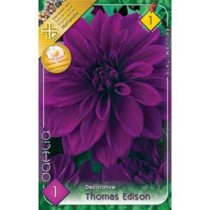 Óriás dekoratív dália 'Thomas Edison' (püspöklila)