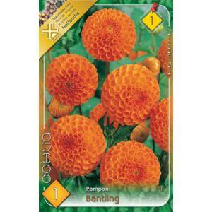 Pompon dália 'Bantling' (narancssárga)