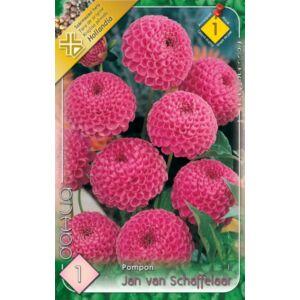 Pompon dália 'Jan van Schaffelaar (rózsaszín)