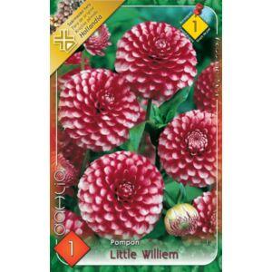 Pompon dália 'Little Williem' (piros/fehér)