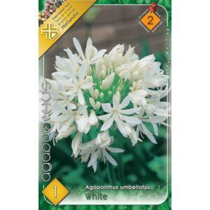 Agapanthus umbellatus - Szerelemvirág (fehér)