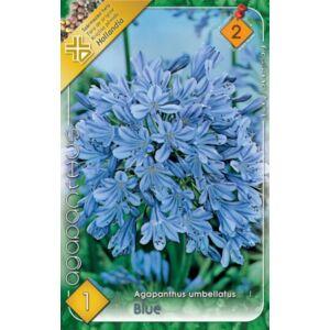 Agapanthus umbellatus - Szerelemvirág (kék)