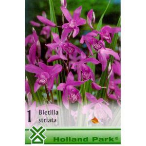 Bletilla striata - Japán orchidea