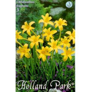 Chlidanthus fragrans - Illatos sástölcsér