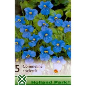 Commelina coelestis - Mexikói kommelina