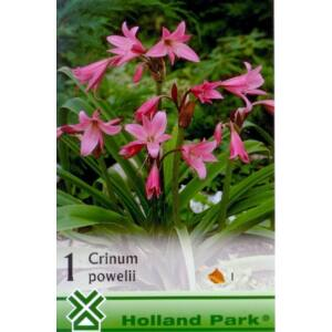 Crinum powellii - Rózsás ernyősliliom