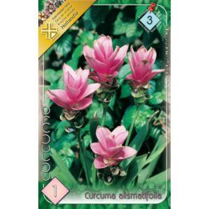 Curcuma alismatifolia - Kurkuma
