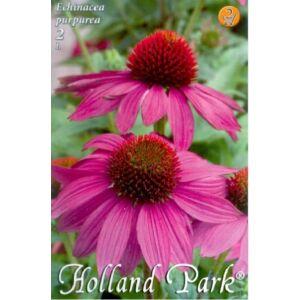 Echinacea purpurea - Bíbor kasvirág