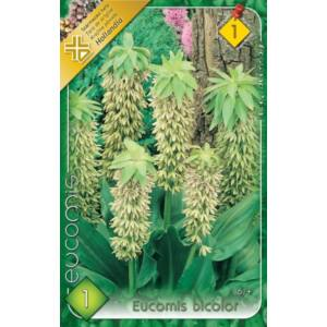 Eucomis bicolor - Kétszínű üstökliliom