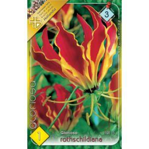 Gloriosa superba 'Rotschildiana' - Koronásliliom