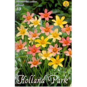 Homeria collina - Homérosz-virág (színkeverék)