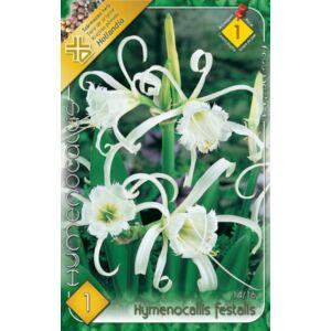Hymenocallis festalis - Pókliliom