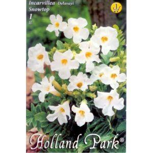 Incarvillea delavayi  'Snowtop' - Szabadföldi gloxínia