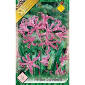 Nerine bowdenii - Csillogó pirosliliom