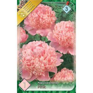 Paeonia sinensis - Pünkösdirózsa (rózsaszín)