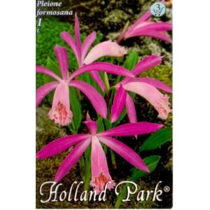 Pleione formosana - Tibeti orchidea