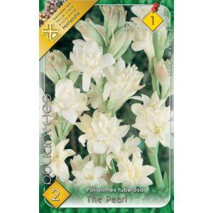 Polianthes tuberose 'The Pearl' - Tubarózsa