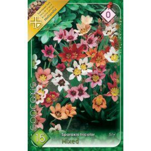 Sparaxis tricolor - Cigányvirág (színkeverék)