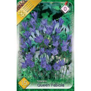 Triteleia 'Queen Fabiola' - Sötétkék csillagliliom