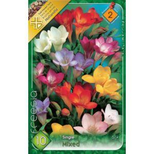 Egyszerű virágú frézia (színkeverék)