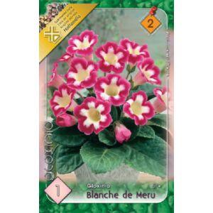 Gloxínia 'Blanche de Meru' - Csuporka (fehér/rózsaszín)