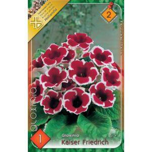 Gloxínia 'Kaiser Friedrich' - Csuporka (piros/fehér)
