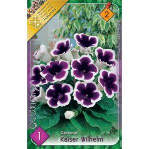 Gloxínia 'Kaiser Wilhelm' - Csuporka (lila/fehér)