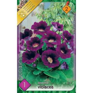Gloxínia 'Violacea' - Csuporka (lila)