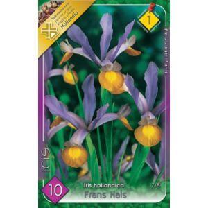 Iris hollandica 'Frans Hals' - Holland írisz (lila/sárga)